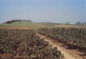 Vitigni di Albana, colline forlivesi, 1989.
